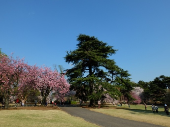 Lots of Cherry Blossom (Sakura) trees in this place